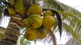 Yellow coconuts are the best